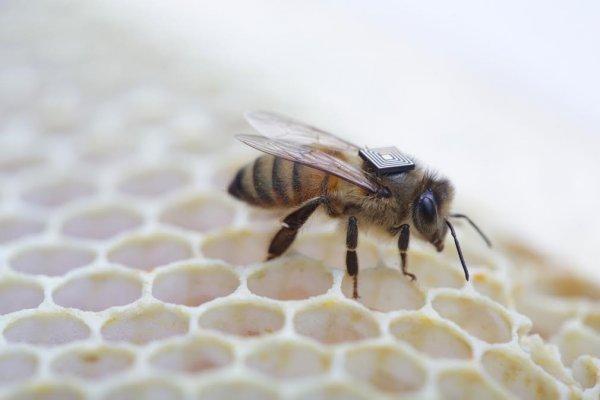 Intel - pszczoły